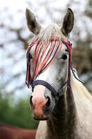 porträtt av en grå färgad arabisk häst på landsbygden