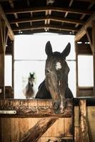 häst porträtt i öppen stabling foto
