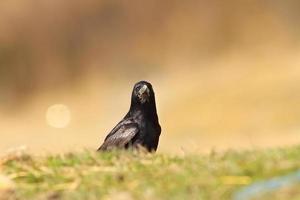 kråka tittar på kameran foto