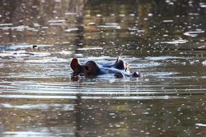 flodhäst nedsänkt i floden foto