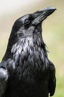 vanlig ravn (corvus corax) foto