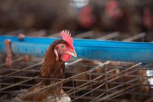 ägg kyckling gård foto