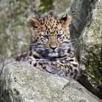 amur leopard cub foto