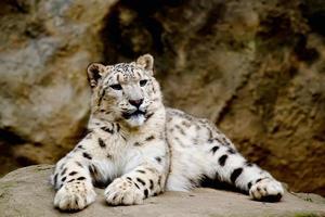 snöleopard irbid sittande på en klippa foto