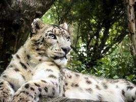 snöleopard som ligger på en klippa foto