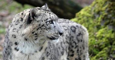 närbild av en snöleopard foto