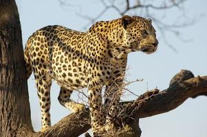 leopard på ett träd på dusternbrook gästgård, namibia foto