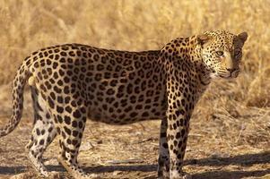 leopard på dusternbrook gästgård, namibia foto