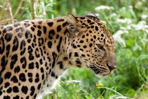 profilhuvudskott av bakgrundsbelyst amurleopard foto