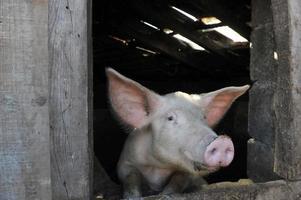 leitão, porco / gris, grisar, foto