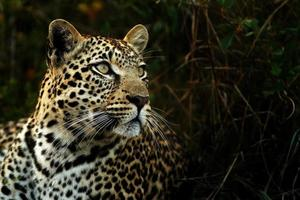 leopard i skuggorna foto