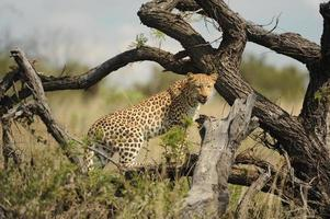 leopard klättrar i ett träd foto
