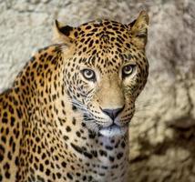 panter eller leopard foto