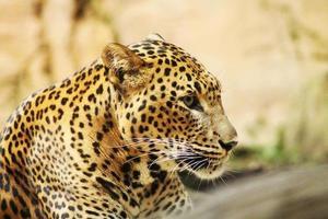 leopardo perfil foto