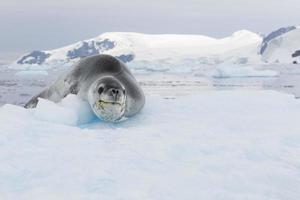 leopardtätning på isflak foto