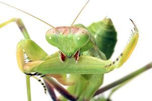 mantis förbereder vapen