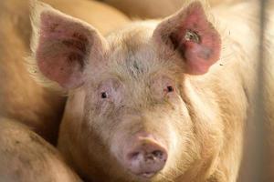 gris tittar på kameran foto