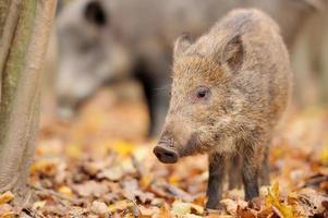 ungt vildsvin i skogen foto