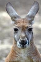 röd känguru foto