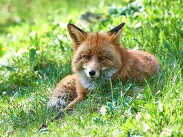 röd räv (vulpes vulpes) foto