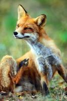 röd räv (vulpes). porträtt. foto