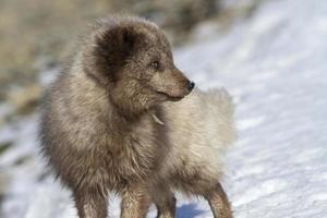 befälhavarens blå arktisk räv som entusiastiskt tittar bort foto