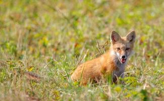 ung röd räv som sitter och pekar foto