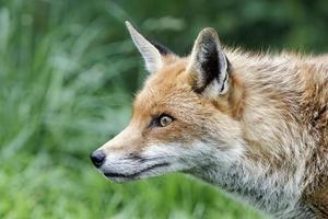 röd räv, vulpes foto