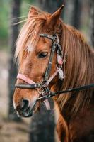 närbild porträtt av brun häst