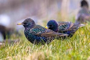 manlig vanlig starling i ett gräsfält foto