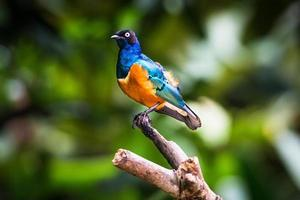 superb starling i ett träd foto