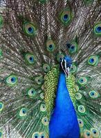närbild av påfågeln foto