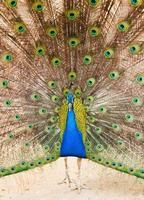 påfågel med vacker fjäder i svansen foto