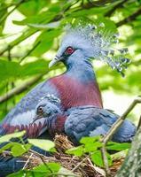 victoria krönade duva och baby fågel i boet foto