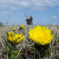 gula blommor på väderkvarnen foto
