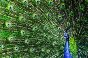 påfågel med vackra mångfärgade fjädrar foto