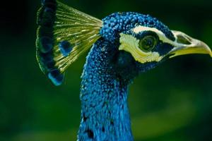 fasaner och patridges (phasianidae) indiska påfågel (pavo cris) foto