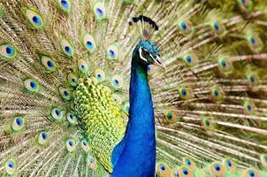 påfågel med fjädrar foto