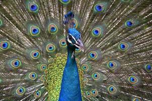påfågel foto
