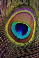 påfågelfjäder (detalj) foto