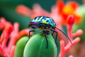 lychee sköldbugg (chrysocoris stolli, scutelleridae) foto