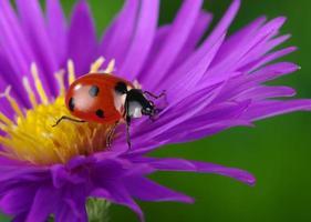 nyckelpiga och blomma foto