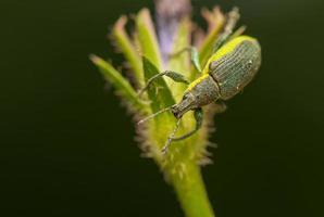 skalbagge insekt foto