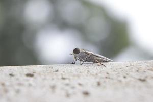 närbild av insekter brun vuxen stink bugg krypa upp betong