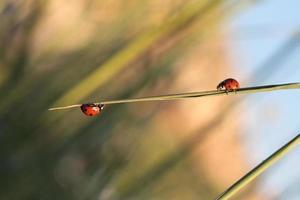 två skalbaggar på en gren foto