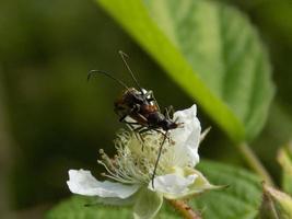 kopulerande skalbaggar på blomman foto