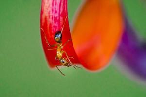 röd myra foto