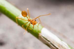 röd väver myr