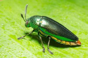 vacker juvelbagge eller metallisk träborrning (buprestid) på grönt blad.