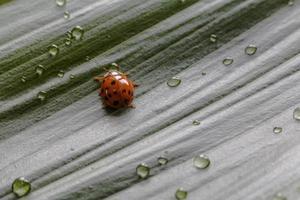 närbild liten nyckelpiga på grönt växtblad med vattendroppar foto